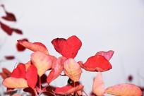 红色的树叶高清摄影