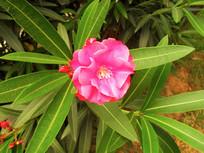 红色夹竹桃花图片