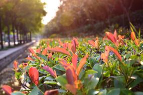 绿化带上的红色叶子