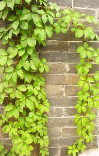 绿叶环绕的青砖墙