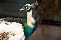 漂亮的大鸟孔雀摄影图