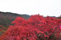 漂亮的红叶高清图片