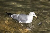 潜水的海鸥