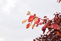 秋季黄栌叶特写图片