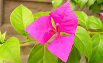 三角梅粉色花特写图