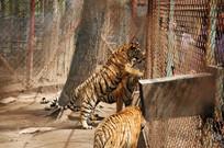 跳跃的老虎