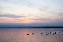 夕阳下湖面上一群天鹅