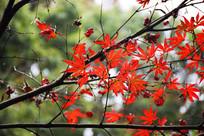 秋枫红叶细节图
