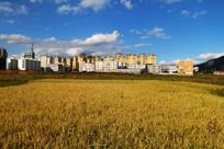 城市旁金黄的稻田