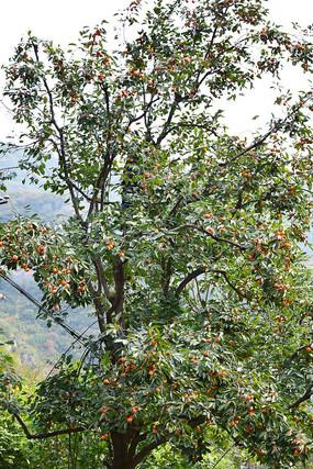 山村里的柿子树高清图
