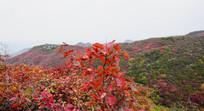 山坡上的黄栌树