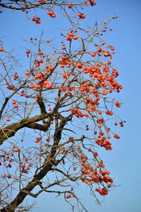 树枝上结满柿子