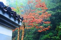 屋檐旁的秋枫红叶树