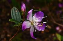 紫色的小野花花卉特写图片