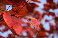 秋季的黄栌树叶子