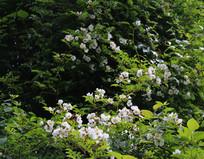 白色的野花