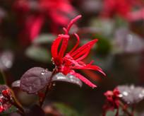 红色小野花