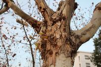 梧桐树斑驳老树摄影背景素材