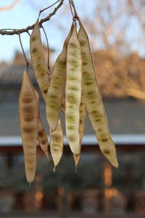 长扁豆形树果实