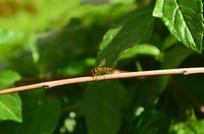 树枝上的一只小蜜蜂