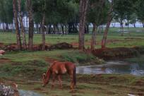 棕色的马在吃草