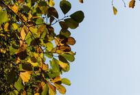 冬天多彩的树叶