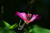唯美的紫荆花特写图片