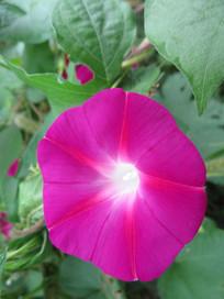 鲜艳的喇叭花