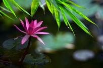竹叶与红莲风景图片