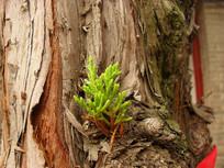 柏树上的树芽