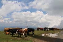 草地上的牛群