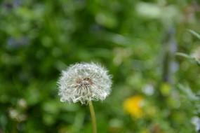 蒲公英花朵
