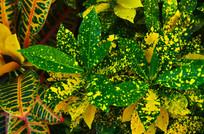 斑点叶子花草图片