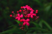 红色小花特写图片