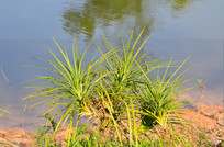 湖边的一株小草