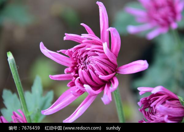 紫色的菊花高清图