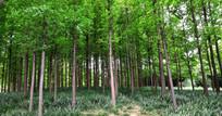 公园中的杉树林图片
