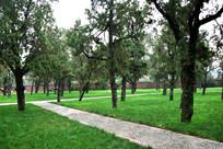 绿色草地上的柏树林