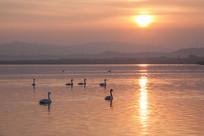 夕阳下湖面上悠闲的天鹅