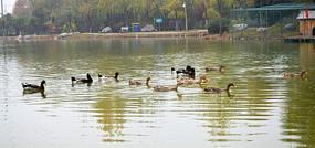 杂色群鸭摄影图