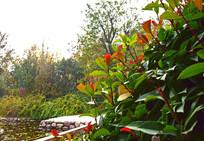 公园里的红色嫩叶