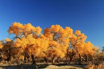金色灿烂的胡杨林