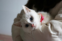 可爱的白猫