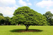 宁静的草坪与大树