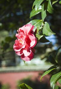 盛开的红色茶花