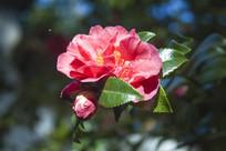 盛开的一朵红色茶花