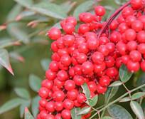 鲜艳红色串状果实