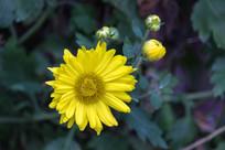 金黄色菊花特写图