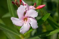 美丽粉色花