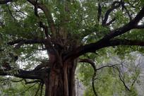茂密的榕树